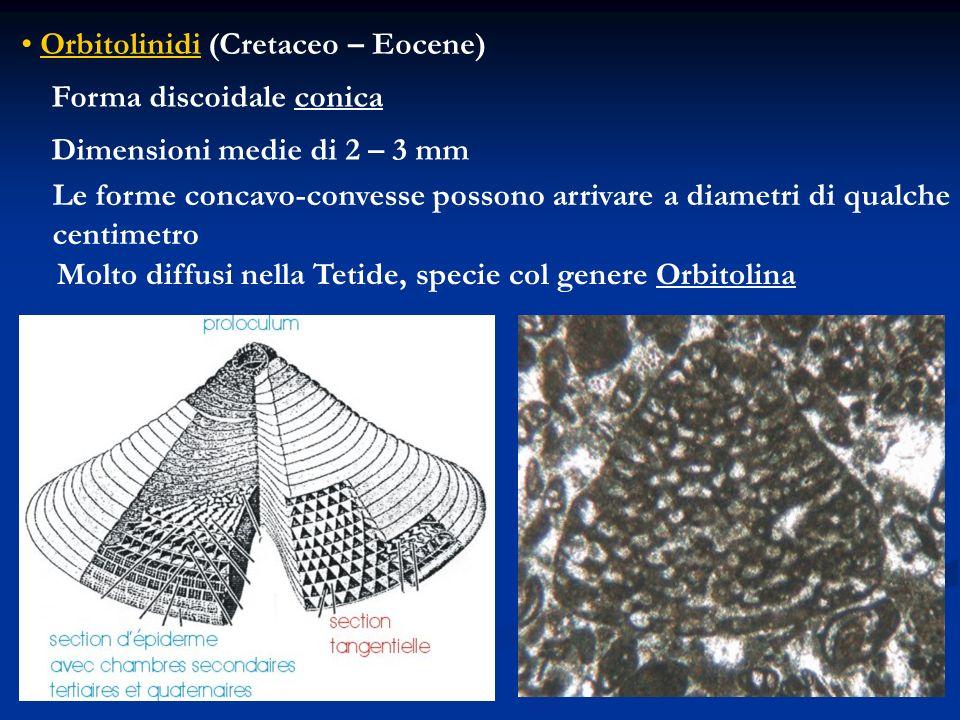 Orbitolinidi (Cretaceo – Eocene)
