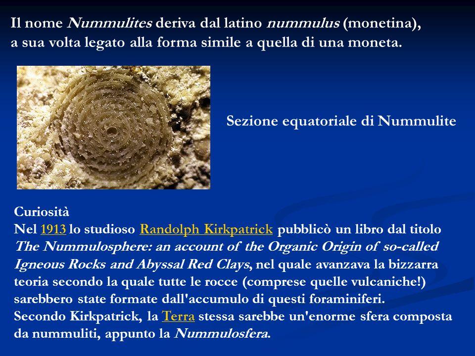 Il nome Nummulites deriva dal latino nummulus (monetina),