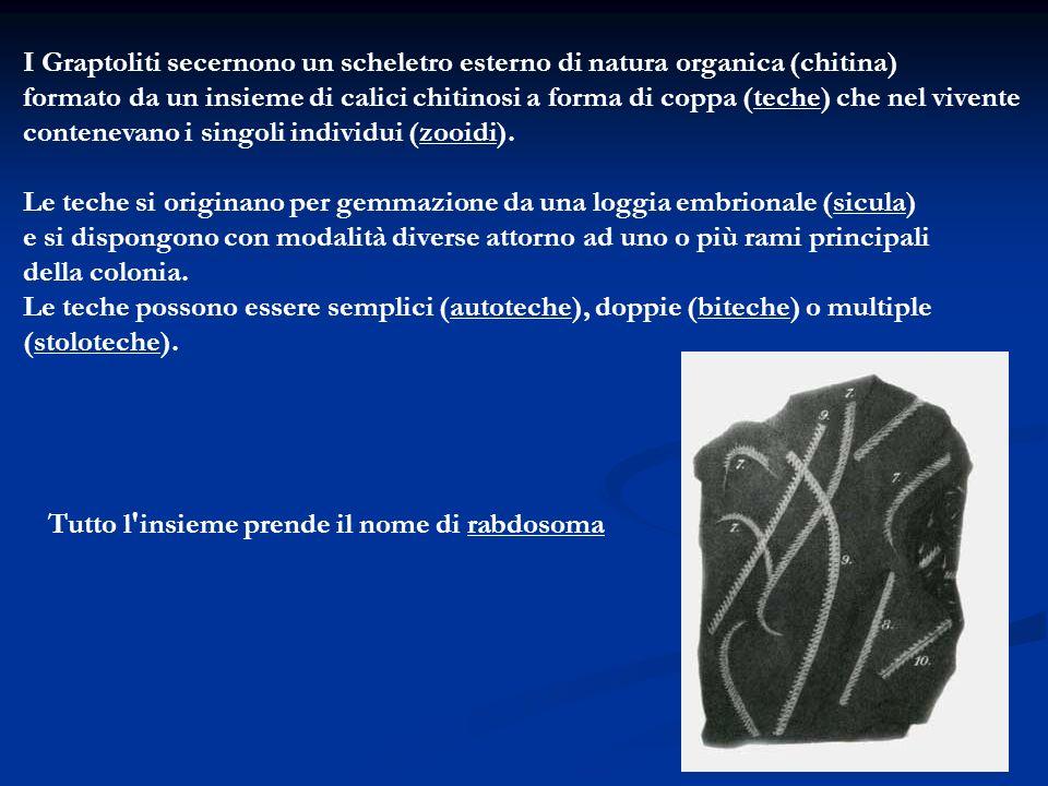 I Graptoliti secernono un scheletro esterno di natura organica (chitina)