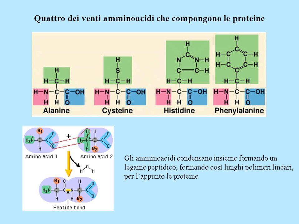 Quattro dei venti amminoacidi che compongono le proteine