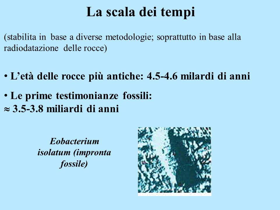 Eobacterium isolatum (impronta fossile)