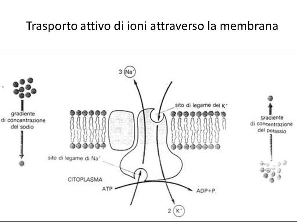 Trasporto attivo di ioni attraverso la membrana