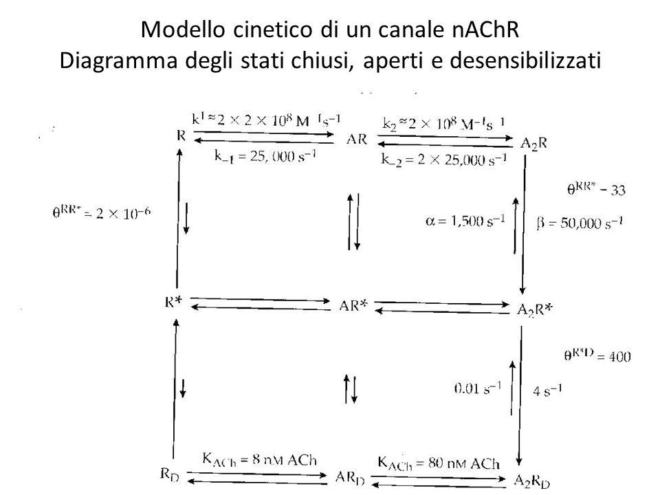 Modello cinetico di un canale nAChR Diagramma degli stati chiusi, aperti e desensibilizzati