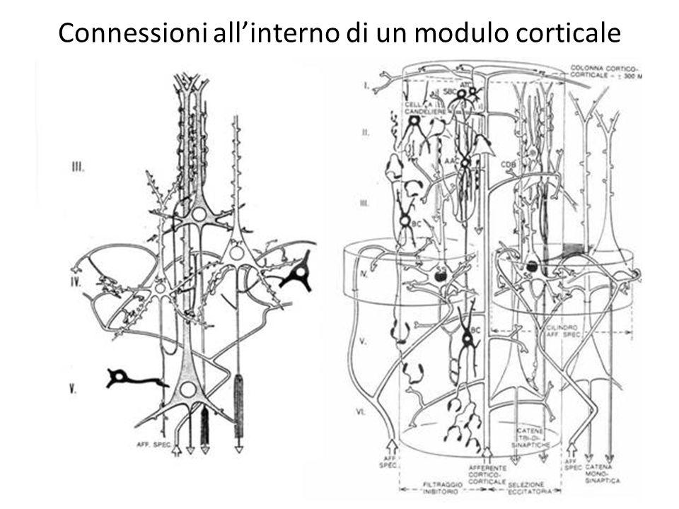Connessioni all'interno di un modulo corticale
