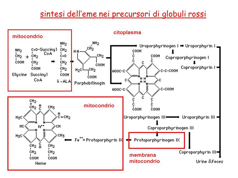 sintesi dell'eme nei precursori di globuli rossi