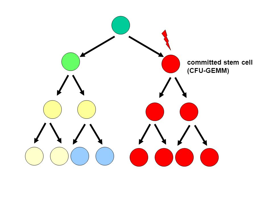 committed stem cell (CFU-GEMM)