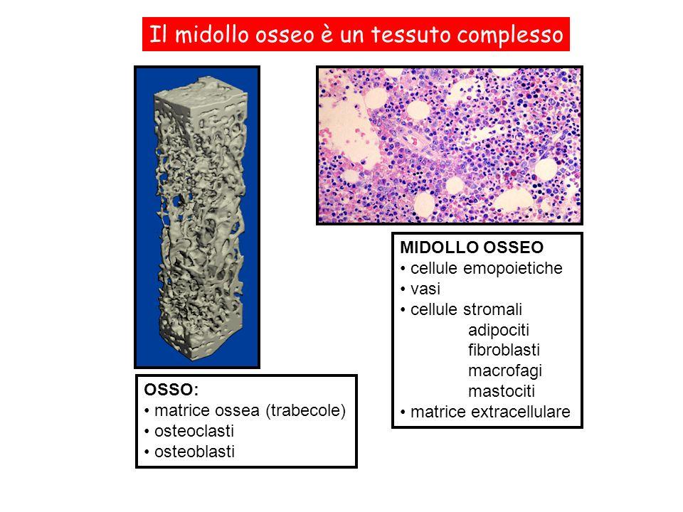 Il midollo osseo è un tessuto complesso