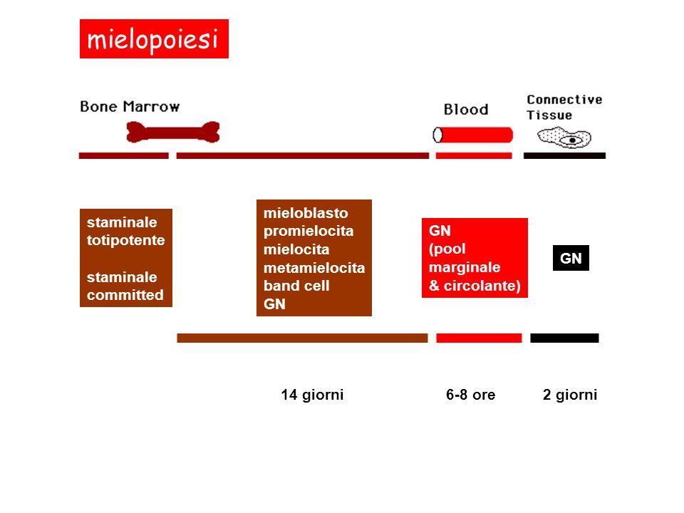 mielopoiesi staminale totipotente committed mieloblasto promielocita