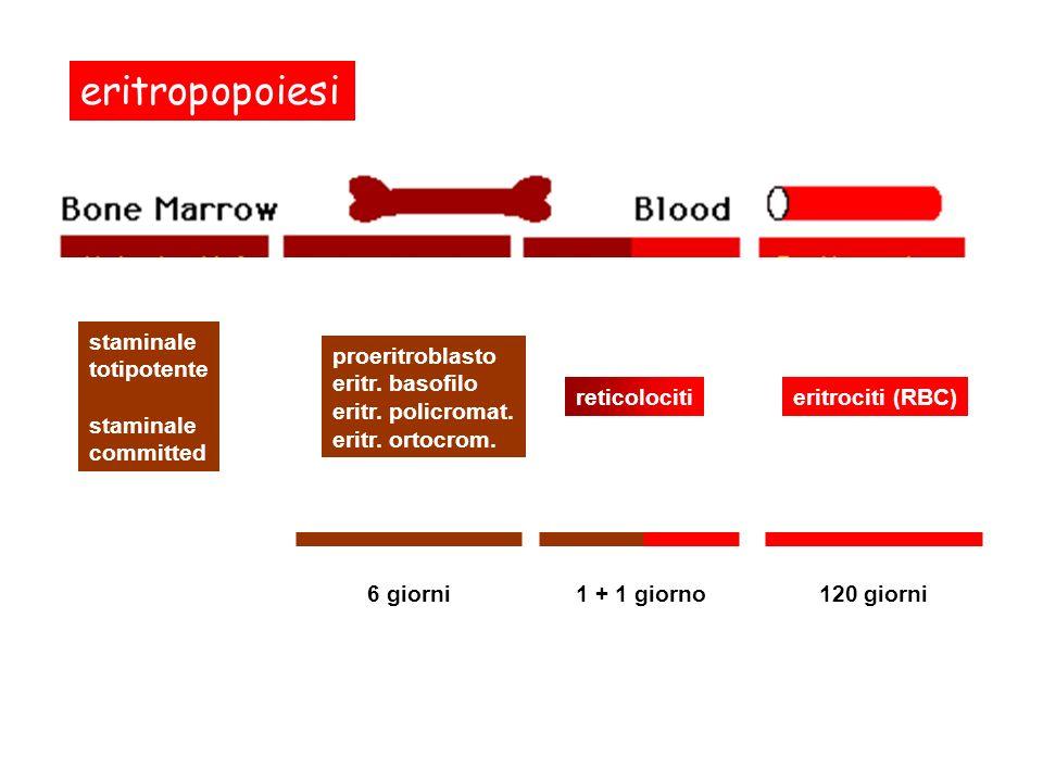 eritropopoiesi staminale totipotente committed proeritroblasto