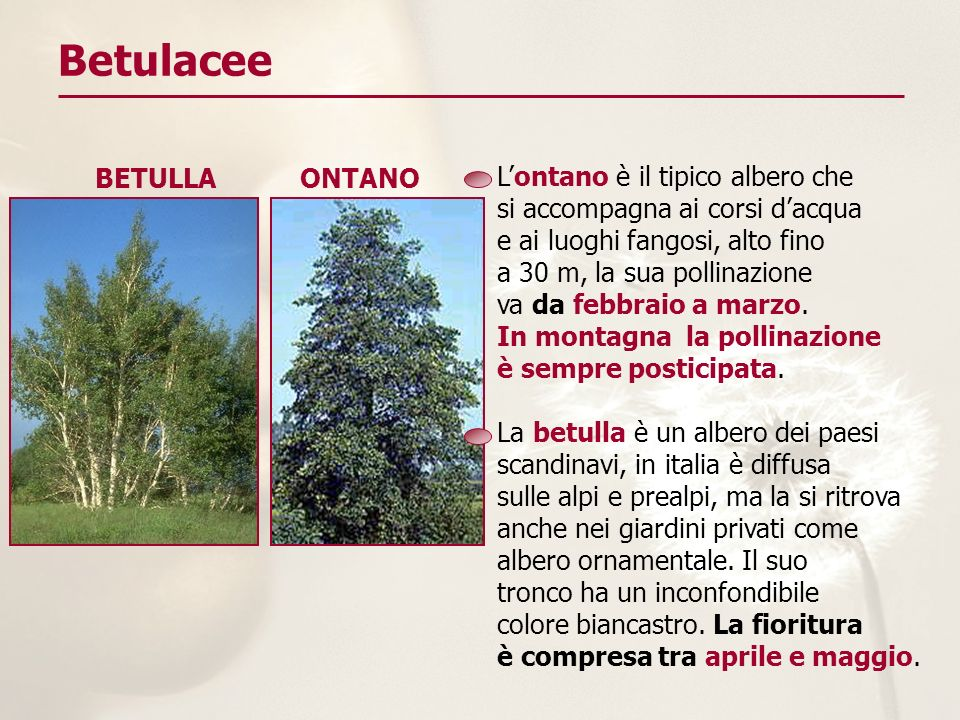 Betulacee BETULLA ONTANO L'ontano è il tipico albero che