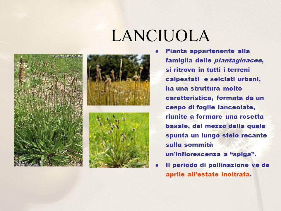 LANCIUOLA