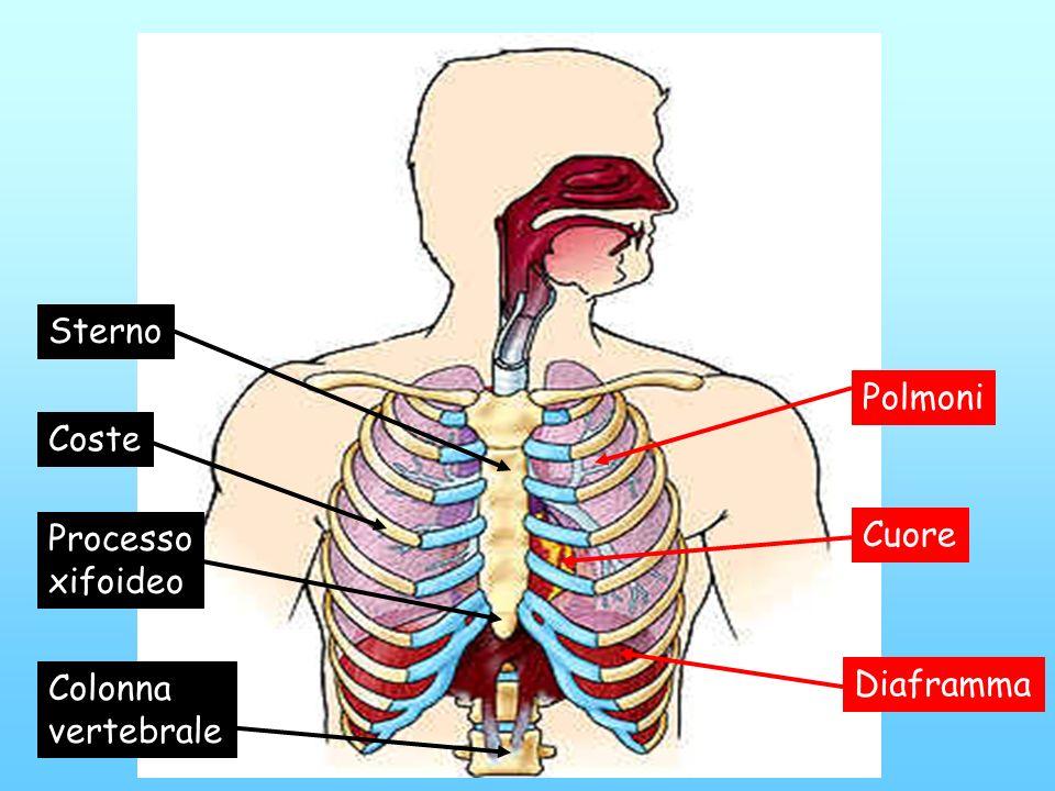 Sterno Polmoni Coste Processo xifoideo Cuore Colonna vertebrale Diaframma
