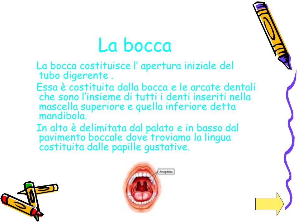 La bocca La bocca costituisce l' apertura iniziale del tubo digerente .