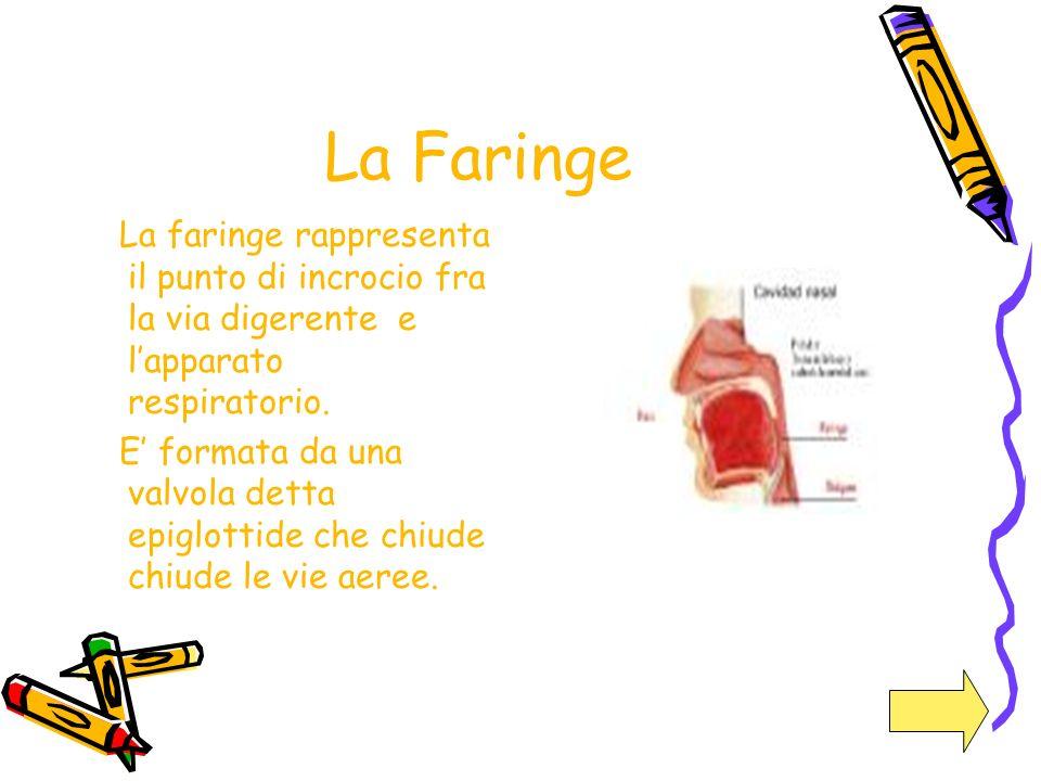 La Faringe La faringe rappresenta il punto di incrocio fra la via digerente e l'apparato respiratorio.