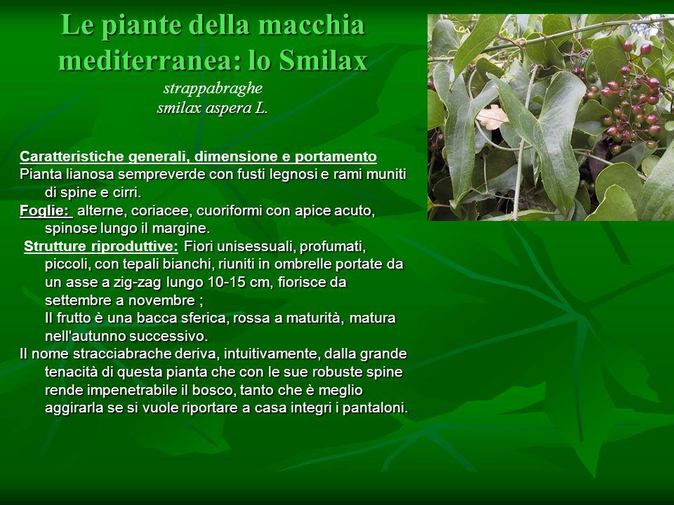 Le piante della macchia mediterranea: lo Smilax strappabraghe smilax aspera L.