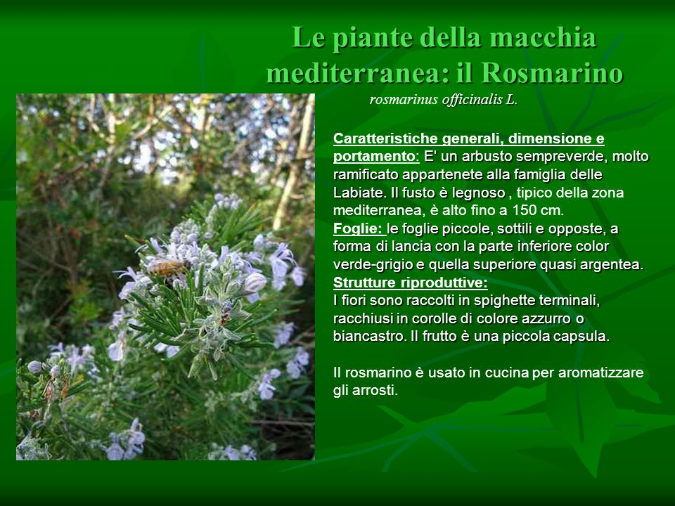 Le piante della macchia mediterranea: il Rosmarino rosmarinus officinalis L.
