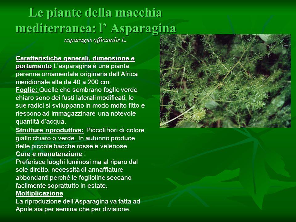 Le piante della macchia mediterranea: l' Asparagina asparagus officinalis L.