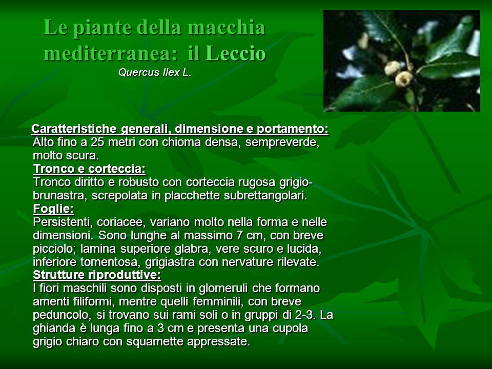 Le piante della macchia mediterranea: il Leccio Quercus Ilex L.