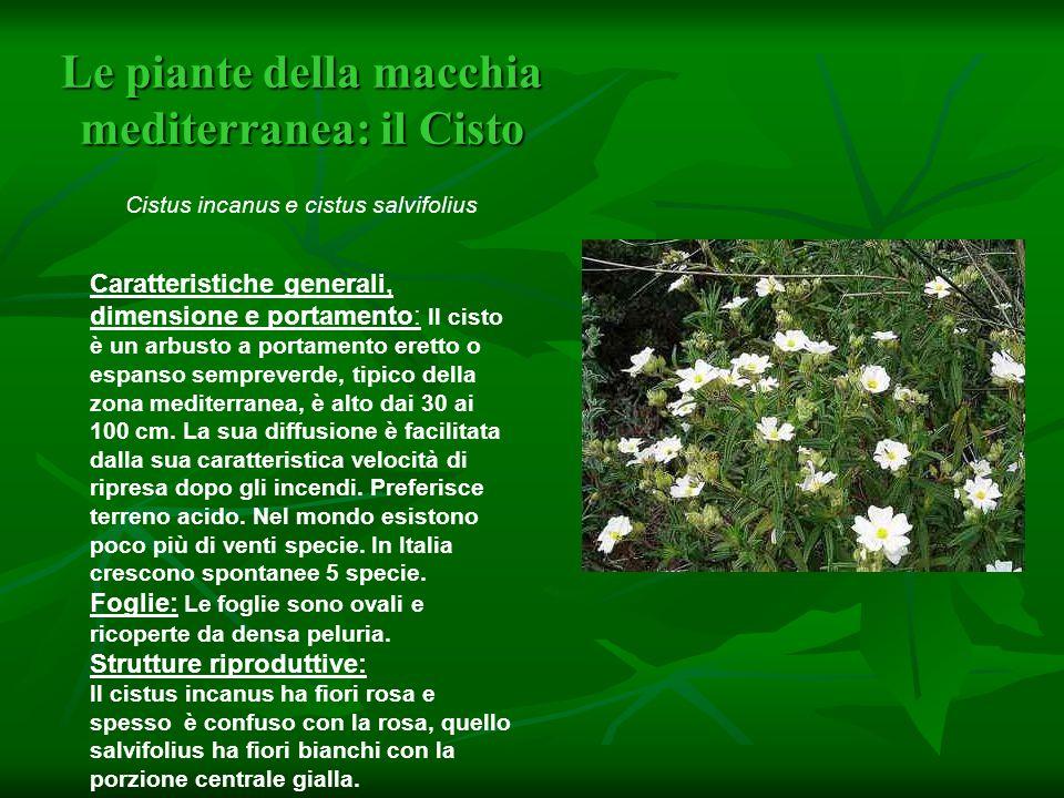 Le piante della macchia mediterranea: il Cisto Cistus incanus e cistus salvifolius