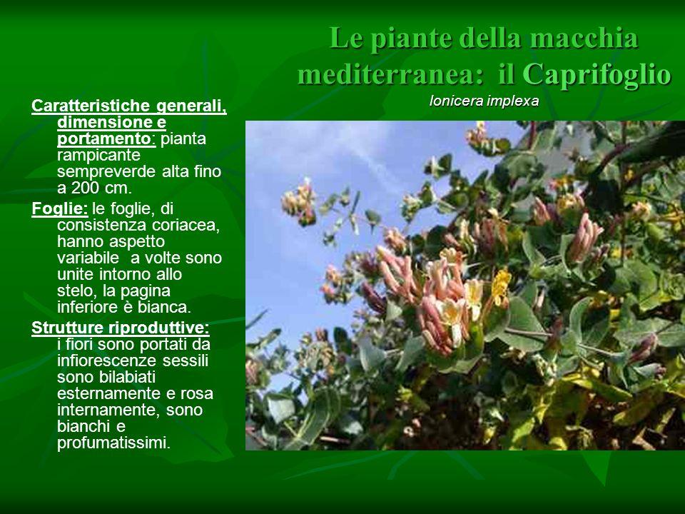 Le piante della macchia mediterranea: il Caprifoglio lonicera implexa
