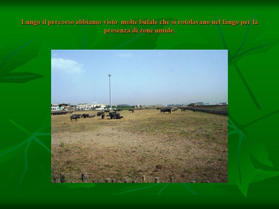 Lungo il percorso abbiamo visto molte bufale che si rotolavano nel fango per la presenza di zone umide.