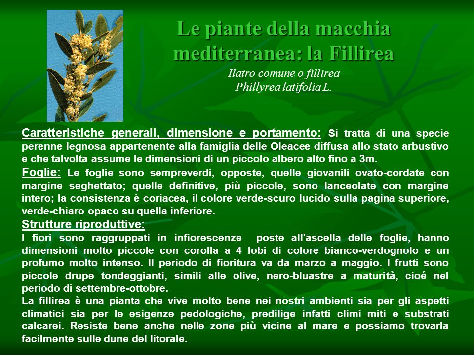 Le piante della macchia mediterranea: la Fillirea Ilatro comune o fillirea Phillyrea latifolia L.