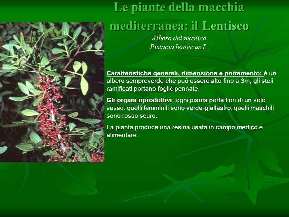 Pistacia lentiscus L. Famiglia : Anacardiaceae. Pistacia lentiscus L. Famiglia : Anacardiaceae.
