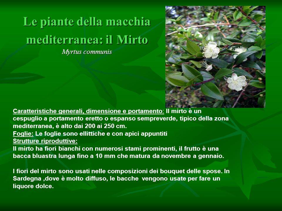 Le piante della macchia mediterranea: il Mirto Myrtus communis