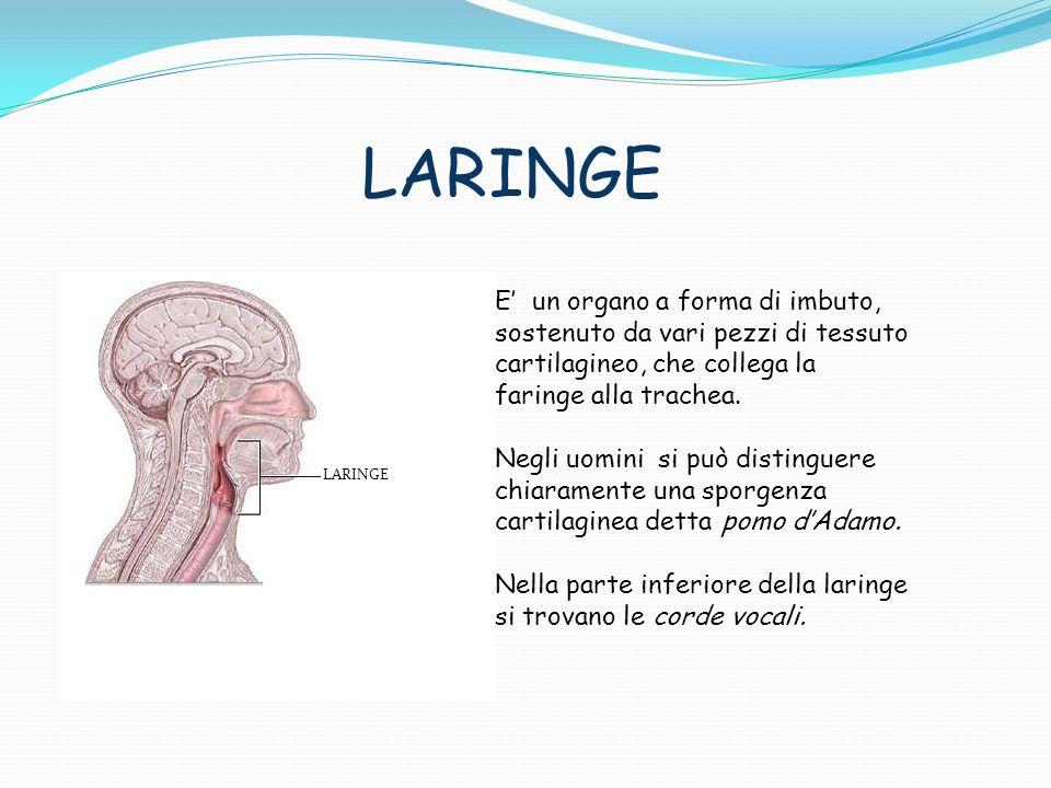 LARINGE E' un organo a forma di imbuto, sostenuto da vari pezzi di tessuto cartilagineo, che collega la faringe alla trachea.