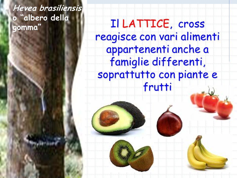 Hevea brasiliensis o albero della gomma