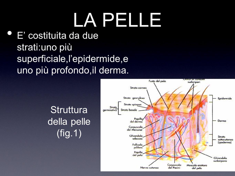 Struttura della pelle (fig.1)