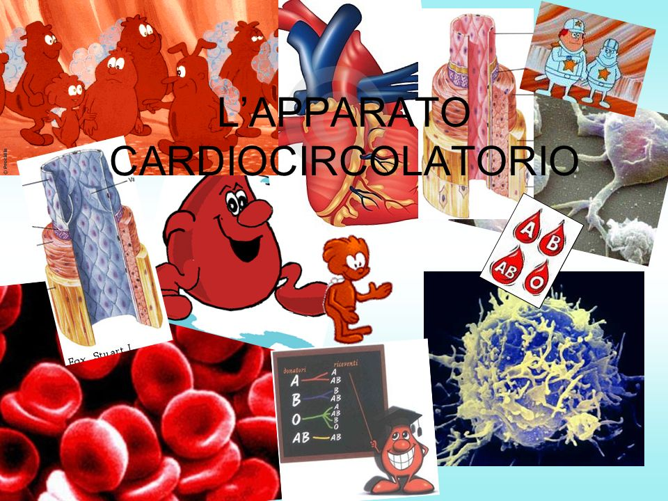 L'APPARATO CARDIOCIRCOLATORIO
