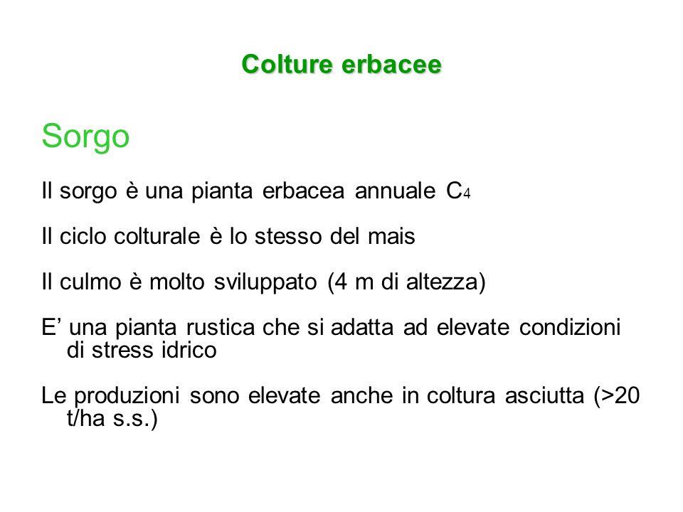 Sorgo Colture erbacee Il sorgo è una pianta erbacea annuale C4