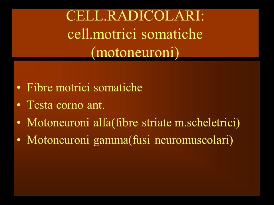 CELL.RADICOLARI: cell.motrici somatiche (motoneuroni)