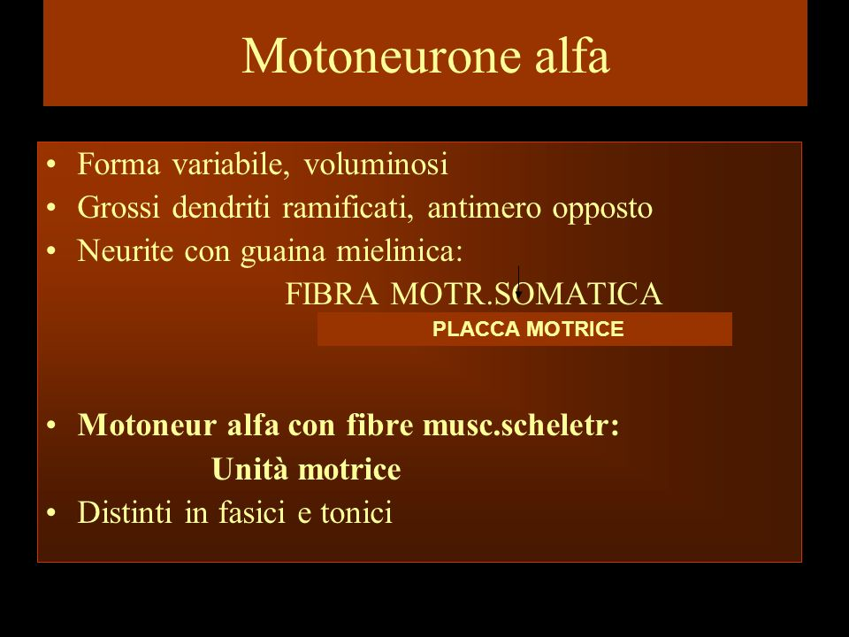 Motoneurone alfa Forma variabile, voluminosi
