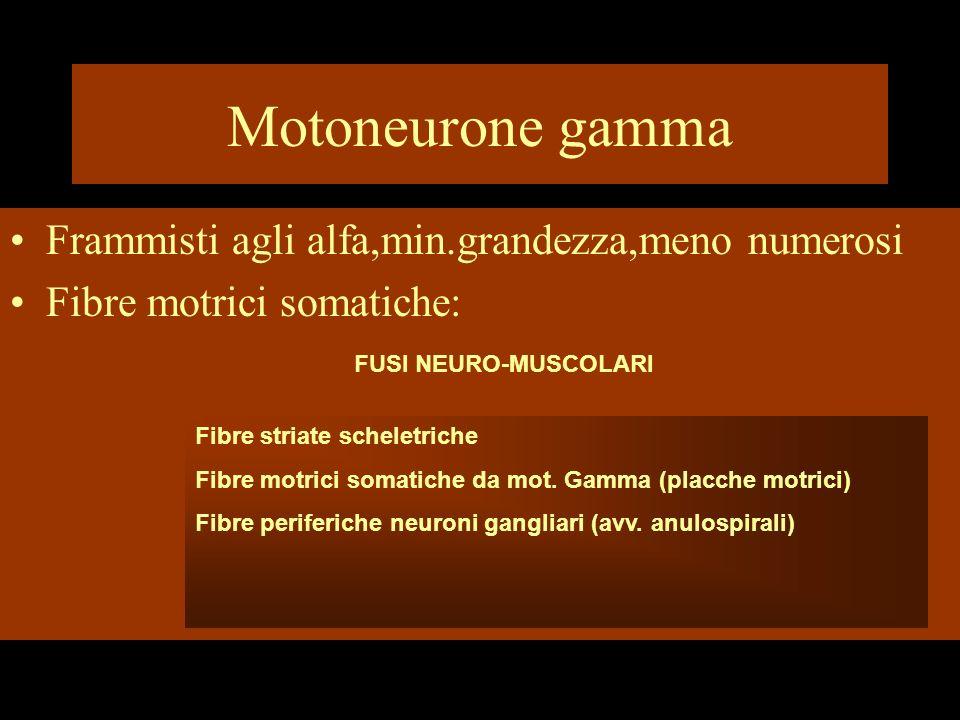 Motoneurone gamma Frammisti agli alfa,min.grandezza,meno numerosi