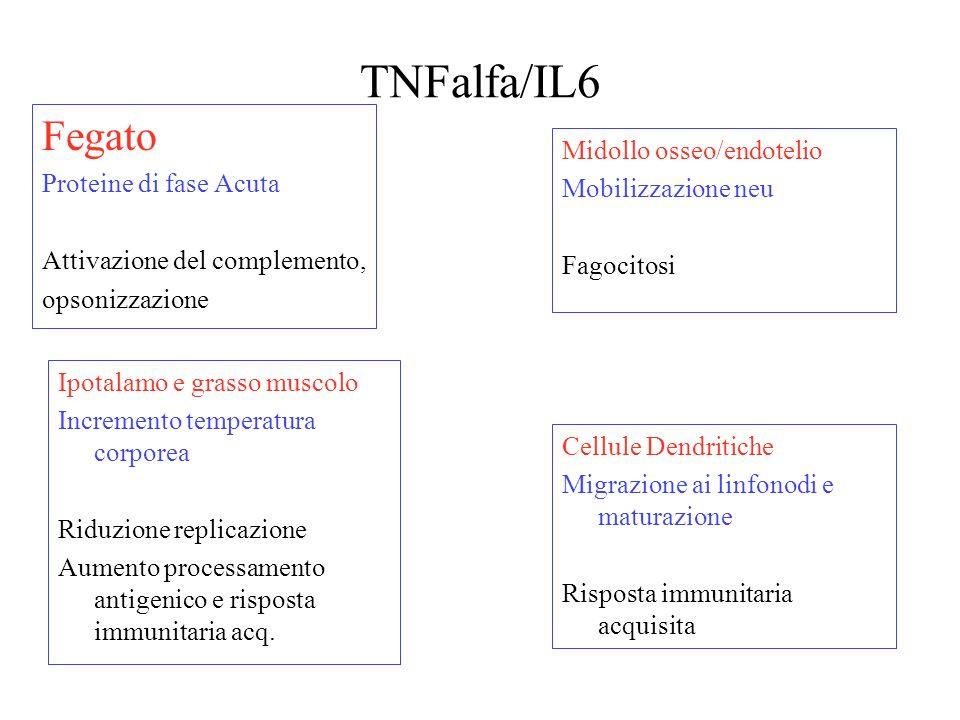 TNFalfa/IL6 Fegato Proteine di fase Acuta Midollo osseo/endotelio