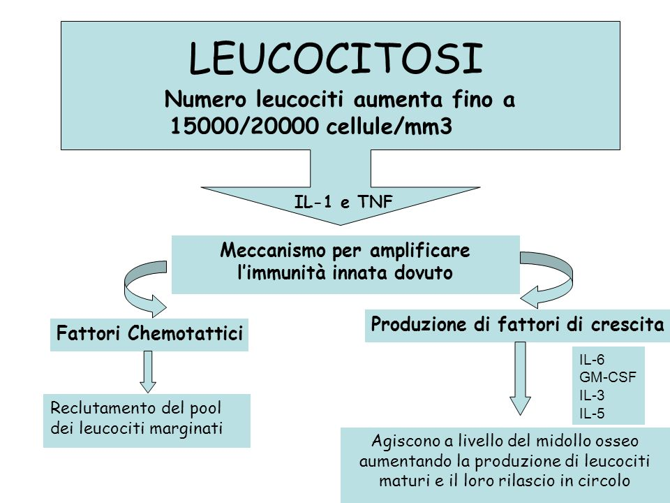 LEUCOCITOSI Numero leucociti aumenta fino a 15000/20000 cellule/mm3