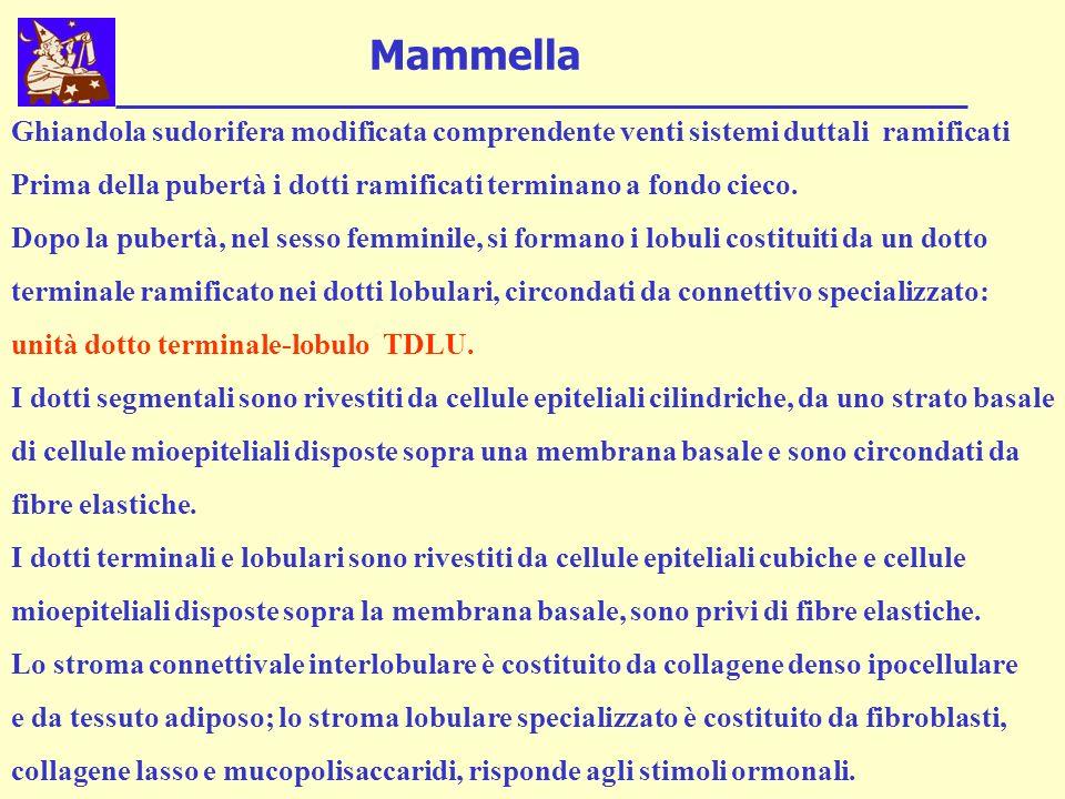 Mammella Ghiandola sudorifera modificata comprendente venti sistemi duttali ramificati.
