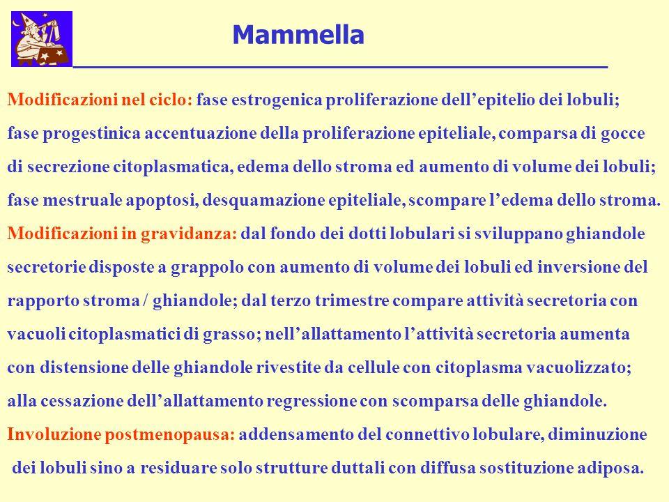 Mammella Modificazioni nel ciclo: fase estrogenica proliferazione dell'epitelio dei lobuli;
