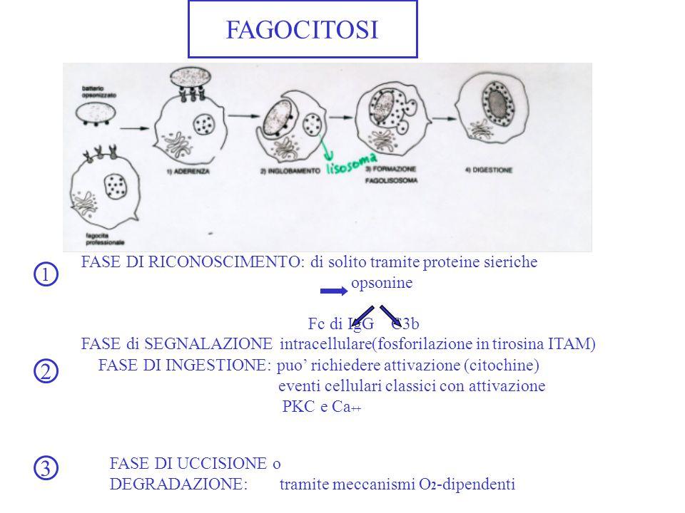 FAGOCITOSI FASE DI RICONOSCIMENTO: di solito tramite proteine sieriche. opsonine. Fc di IgG C3b.