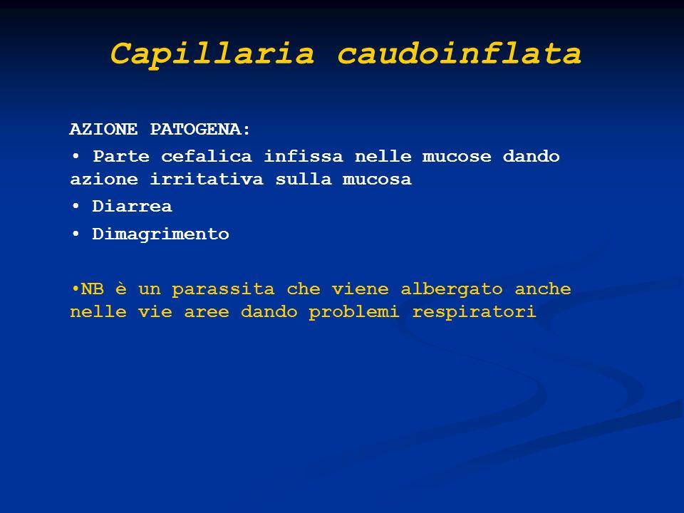 Capillaria caudoinflata