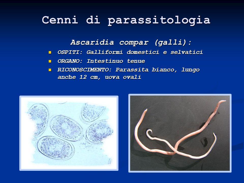 Cenni di parassitologia Ascaridia compar (galli):