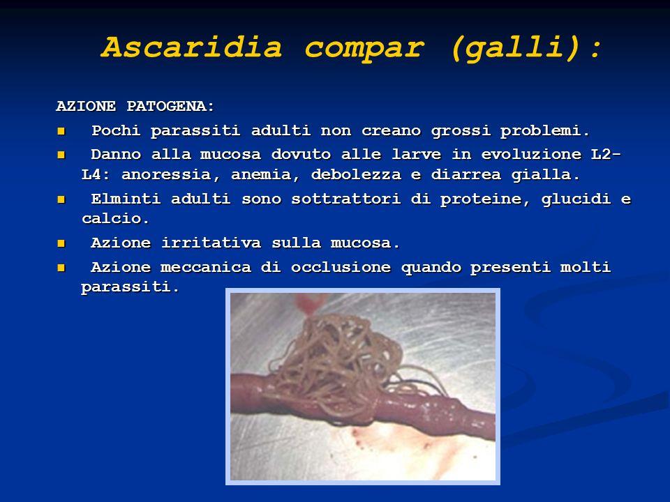 Ascaridia compar (galli):