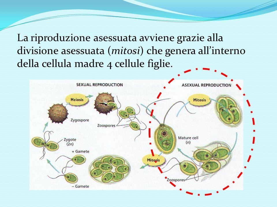 La riproduzione asessuata avviene grazie alla divisione asessuata (mitosi) che genera all'interno della cellula madre 4 cellule figlie.