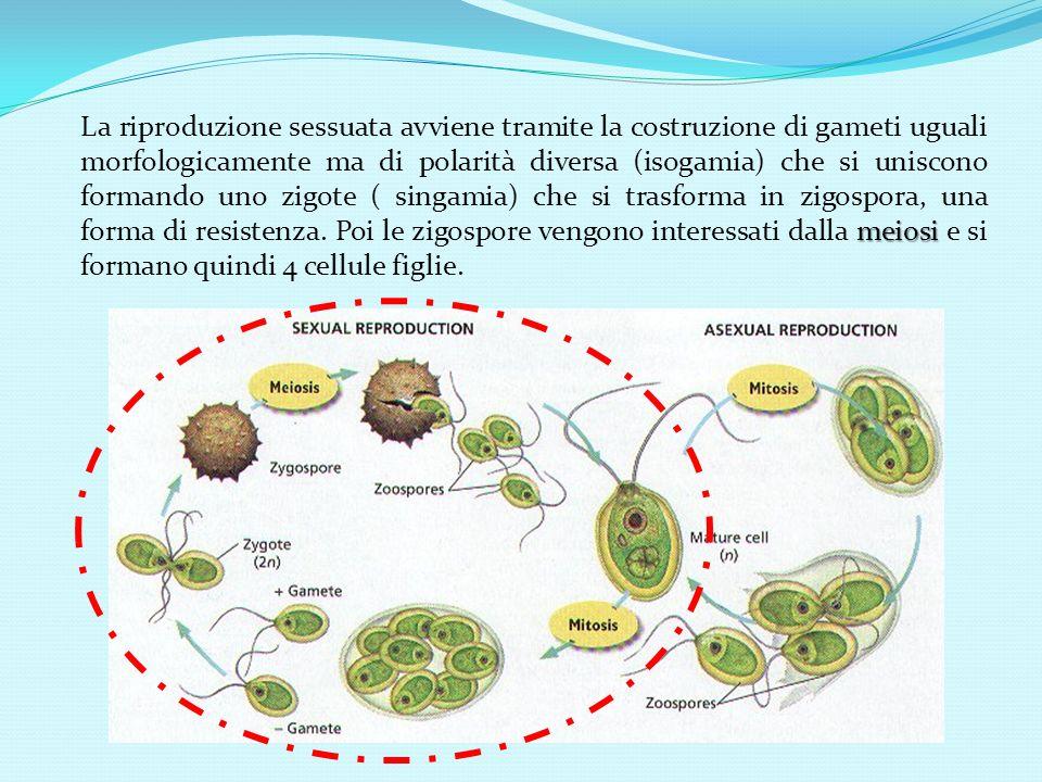 La riproduzione sessuata avviene tramite la costruzione di gameti uguali morfologicamente ma di polarità diversa (isogamia) che si uniscono formando uno zigote ( singamia) che si trasforma in zigospora, una forma di resistenza.