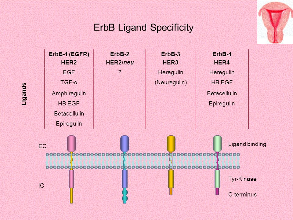 ErbB Ligand Specificity
