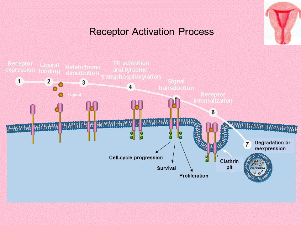 Receptor Activation Process