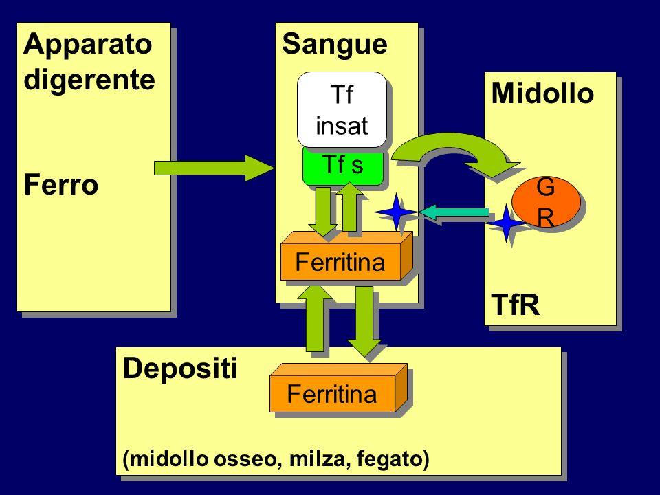 Apparato digerente Ferro Sangue Midollo TfR Depositi Tf insat Tf s GR