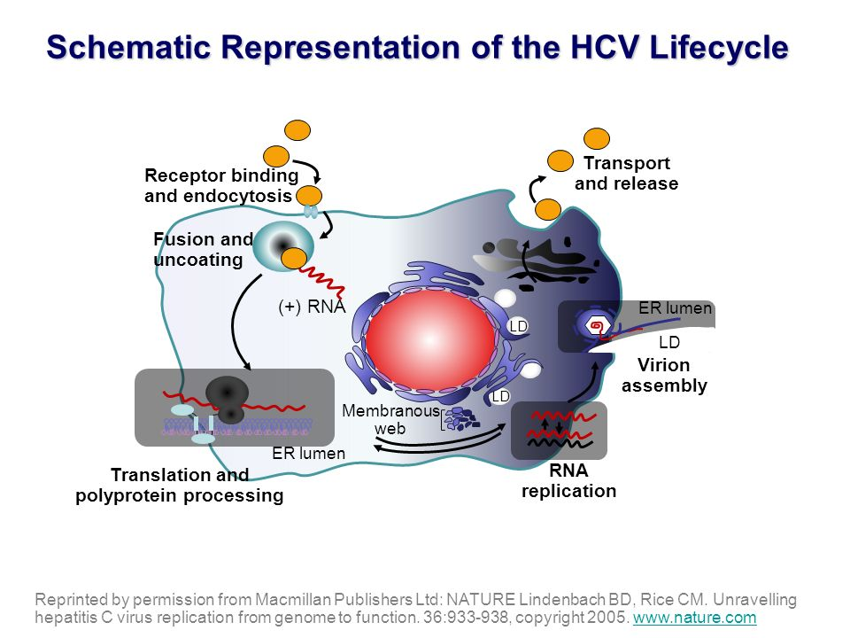 Schematic Representation of the HCV Lifecycle
